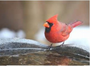 winter_cardinal_birdbath